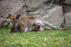 Zrelaksowany macierzysty wallaby z joey fotografia stock