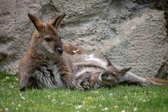 Zrelaksowany macierzysty wallaby z joey zdjęcie stock