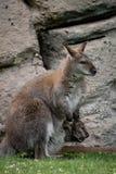 Zrelaksowany macierzysty wallaby z joey obrazy royalty free