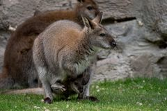Zrelaksowany macierzysty wallaby z joey fotografia royalty free