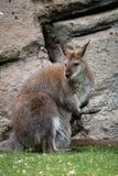 Zrelaksowany macierzysty wallaby z joey zdjęcia stock