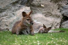 Zrelaksowany macierzysty wallaby z joey zdjęcie royalty free