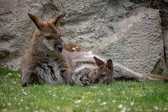 Zrelaksowany macierzysty wallaby z joey obraz royalty free