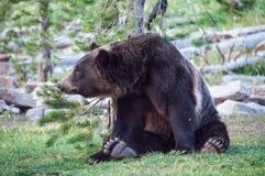 Zrelaksowany niedźwiedź Fotografia Stock