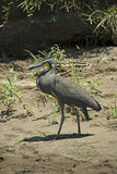 Costa Rican ptak Obrazy Stock