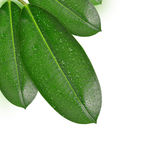 Zroszeni Ficus liście Zdjęcie Stock
