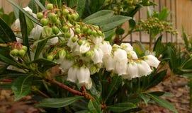 Zroszeni Pieris japonica okwitnięcia Zdjęcie Stock