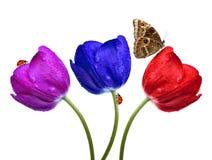 Zroszeni tulipany Zdjęcia Royalty Free