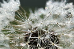 Zroszona Dandelion ziarna głowa Zdjęcie Royalty Free