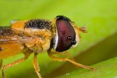 zroszona komarnicy hover pomarańcze fotografia royalty free
