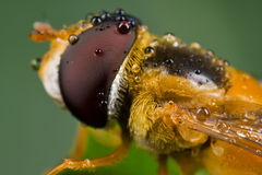 zroszona komarnicy hover pomarańcze zdjęcia royalty free