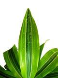 zroszona zielona roślina Zdjęcia Stock