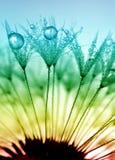 Zroszony dandelion Obraz Royalty Free