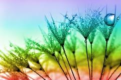 Zroszony dandelion Zdjęcie Royalty Free