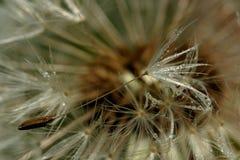 Zroszony Dandelion ziarno Zdjęcie Stock