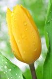 zroszony tulipan Zdjęcia Stock