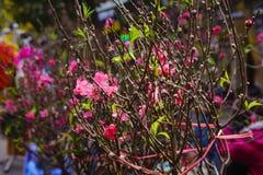 Zrozumienia Luoc kwiatu rynek Brzoskwinia kwiaty, brzęczenia Noi Wietnam Zdjęcia Royalty Free