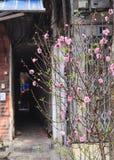 Zrozumienia Luoc kwiatu rynek Brzoskwinia kwiaty, brzęczenia Noi Wietnam Fotografia Royalty Free