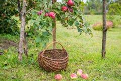 Zrywań jabłka fotografia royalty free