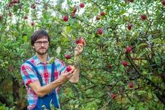 Zrywań jabłka Mężczyzna z pełnym koszem czerwoni jabłka w ogródzie obraz stock