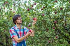 Zrywań jabłka Mężczyzna z pełnym koszem czerwoni jabłka w ogródzie zdjęcia stock