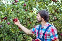 Zrywań jabłka Mężczyzna z pełnym koszem czerwoni jabłka w ogródzie, ostrość na jabłku obrazy royalty free