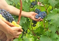 Zrywań winogrona Fotografia Stock