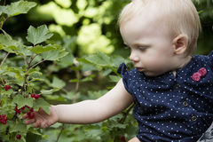 Zrywania redcurrant jagody obraz stock