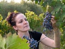 zrywania z winogron Obraz Stock
