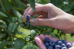 Zrywanie czarne jagody Zdjęcia Royalty Free