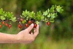 Zrywanie jagody agrest w ogródzie Fotografia Royalty Free