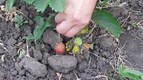 Zrywanie truskawki w ogródzie Zdjęcia Stock