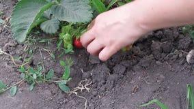 Zrywanie truskawki w ogródzie Zdjęcie Stock