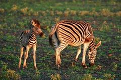 Zsbras africains sauvages Photographie stock libre de droits