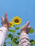 Zu den Sonnenblumen heraus erreichen lizenzfreies stockfoto