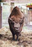 Zubr eller europeisk bison I fångenskap royaltyfri fotografi