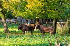Zubr - europäischer Bison, Polen Stockfotografie