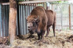 Zubr of Europese bizon In gevangenschap royalty-vrije stock foto