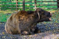 Zubron - hybryd żubr i krowa obrazy stock