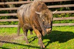 Zubron - Kreuzung des Bisons und der Kuh Stockfotos