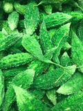 Zucca amara & x28; Melon& amaro x29; fatti di nutrizione ed indennità-malattia immagini stock