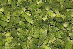Zucca amara tailandese Immagine Stock