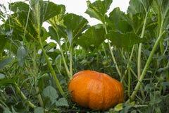 Zucca arancio nell'erba verde Fotografia Stock