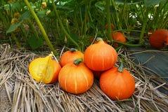 Zucca arancio raccolta nell'azienda agricola Fotografie Stock Libere da Diritti