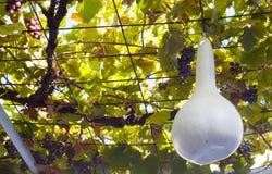 Zucca bianca fotografia stock libera da diritti