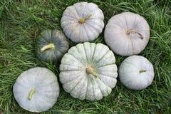 Zucca bianca su erba verde, raccolto di autunno Fotografie Stock