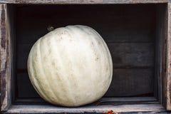 Zucca Curvy dell'azienda agricola di giallo arancio di forma in scatole di legno sullo scaffale del mercato Immagini Stock