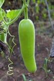 Zucca del pellegrino, bhopla di dudhi o lagenaria siceraria crudo in un'azienda agricola, Khedshivapur, Pune immagini stock libere da diritti