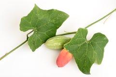 Zucca dell'edera Immagine Stock