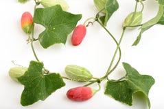 Zucca dell'edera Immagini Stock Libere da Diritti